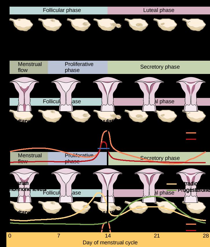 Breastfeeding Fertility And Subfertility 1 Mammae